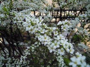 春のおりこうな花 雪柳